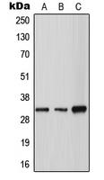 CPA2597-100ul - Tryptase gamma (TPSG1)