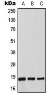 CPA2598-100ul - Thioredoxin-2 / TRX2
