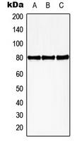 CPA2619-100ul - HBP1