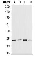 CPA2625-100ul - IL1F7 / FIL1Z