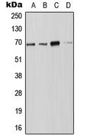 CPA2653-100ul - NOX4