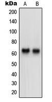 CPA2656-100ul - Neurotrimin