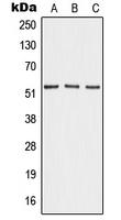 CPA2667-100ul - Angiopoietin-4