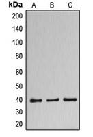 CPA2683-100ul - DNAJB11