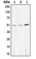 CPA2731-100ul - CHRNA10