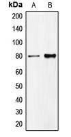 CPA2765-100ul - CD318 / CDCP1