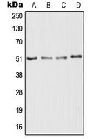 CPA2768-100ul - Nogo 66 receptor