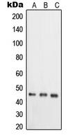 CPA2825-100ul - TNFRSF19L / RELT