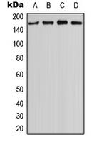 CPA2866-100ul - Myosin-IIIB