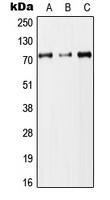 CPA2953-100ul - DYNC1I2