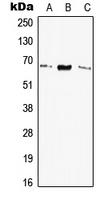 CPA2954-100ul - Elastin