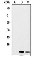 CPA2974-100ul - Insulin