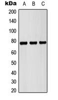 CPA2993-100ul - Pericentrin