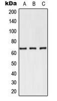 CPA3010-100ul - CD62E / E-Selectin