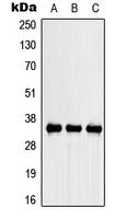 CPA3016-100ul - SPARC / Osteonectin