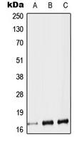 CPA3020-100ul - Protachykinin-1 (TAC1)