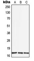 CPA3023-100ul - TGF-alpha (TGFA)