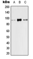 CPA3024-100ul - TRPV1 / Vanilloid receptor 1