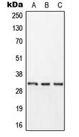 CPA3043-100ul - KLK11 / Kallikrein-11
