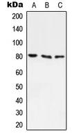 CPA3067-100ul - ABCF3