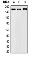 CPA3087-100ul - Cyclin B3