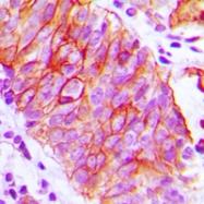 CPA3151-100ul - CD147