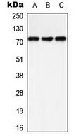 CPA3305-100ul - PTPN11 / PTP2C
