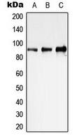 CPA3322-100ul - STAT1