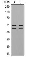 CPA3352-100ul - VASP