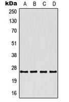 CPA3360-100ul - 4-1BBL / TNFSF9