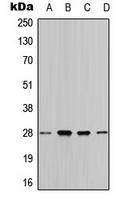 CPA3387-100ul - 14-3-3 protein theta