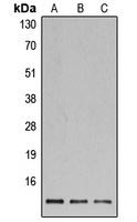 CPA3471-100ul - Histone H4
