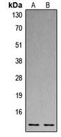 CPA3472-100ul - Histone H4