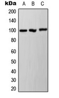 CPA3477-100ul - Ah Receptor