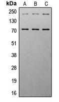 CPA3484-100ul - IGF1 Receptor