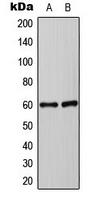 CPA3495-100ul - Synaptotagmin
