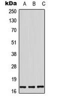CPA3497-100ul - Histone H3