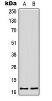 CPA3498-100ul - Histone H3