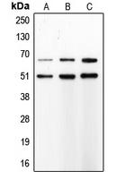CPA1752-100ul - MMP-8