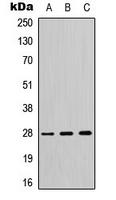 CPA3386-100ul - 14-3-3 protein theta
