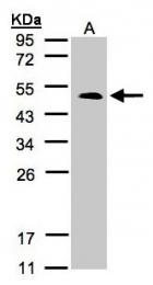 GTX100009 - Serotonin receptor 1B (HTR1B)