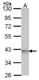 GTX100025 - Adenosine receptor A1