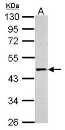 GTX100040 - Beta-2 adrenergic receptor