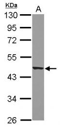 GTX100179 - Apelin Receptor