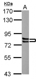 GTX100253 - Cortactin