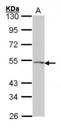 GTX100325 - PACAP type III receptor /  VIP Receptor 2