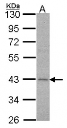 GTX100334 - Alpha-2C adrenergic receptor