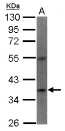 GTX100335 - Apelin Receptor