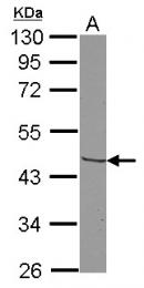GTX100342 - CD193 / CCR3