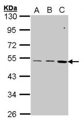 GTX100347 - CCK-B Receptor